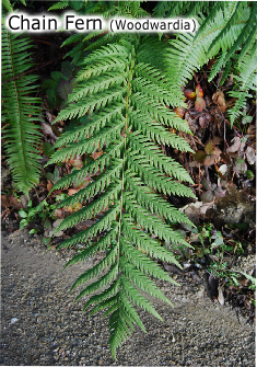 Chain Fern (Woodwardia)